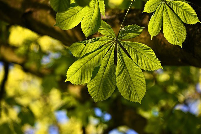 A close-up of chesnut tree leaves